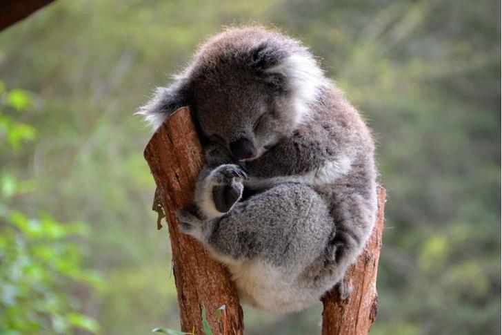Фото №1 - Спящий коала