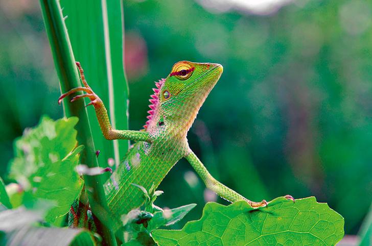 Фото №1 - Почти хамелеон из Шри-Ланки