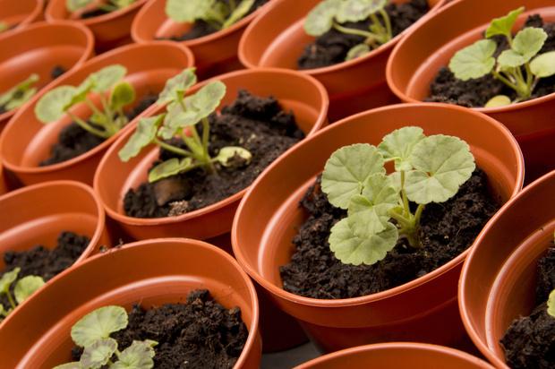 как правильно вырастить герань из семян