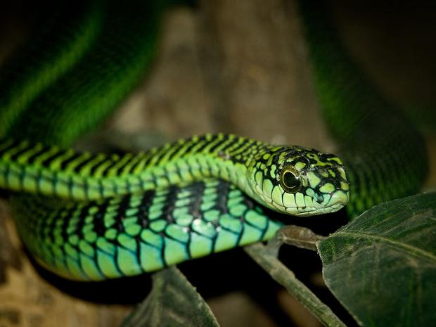 Фото №2 - Ученый, который пожертвовал жизнью, чтобы описать симптомы укуса ядовитой змеи