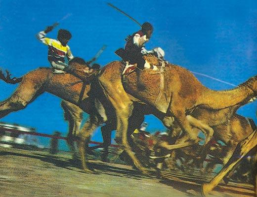 Фото №1 - Шейхи и верблюды