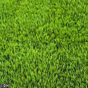 Фото №1 - Вечнозеленый газон победит время и природу