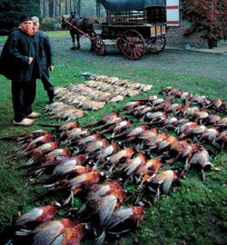 Фото №5 - Золотой петушок Евразии