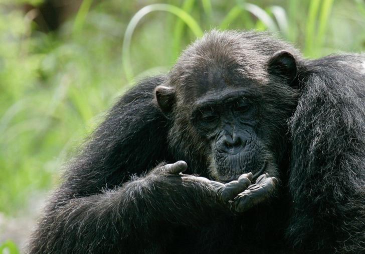 Фото №1 - Шимпанзе попались на ловле крабов