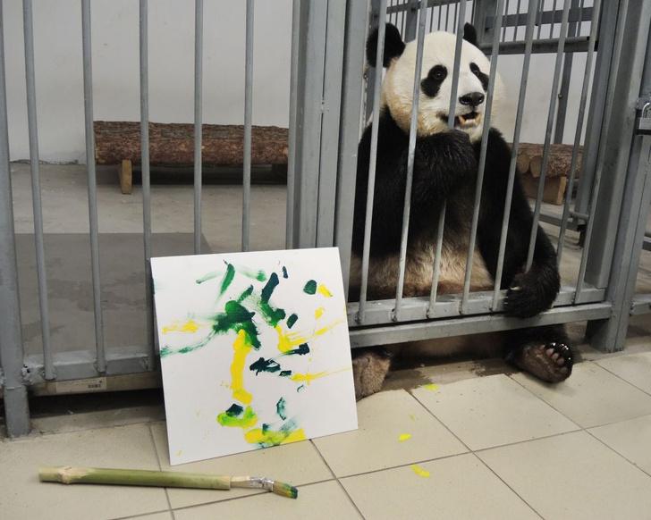 Фото №1 - Панды в Московском зоопарке начали учиться рисовать