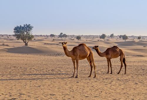 Фото №1 - Почему верблюды, длительное время оставаясь без воды, сохраняют выносливость?