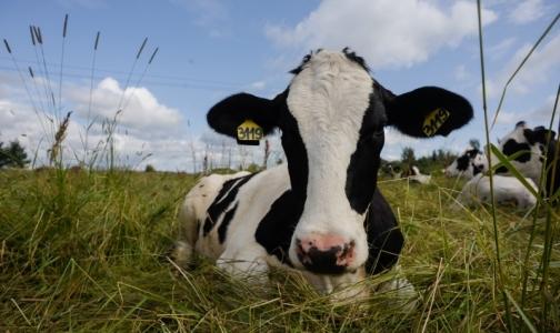 Фото №1 - Роспотребнадзор не советует покупать молоко трех петербургских производителей