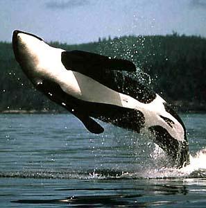 Фото №1 - Британцы все чаще наблюдают китов