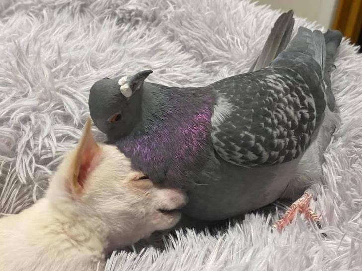 Фото №2 - В Нью-Йорке голубь Герман подружился с больным чихуахуа, и эти кадры выглядят как валентинка (фото и видео)