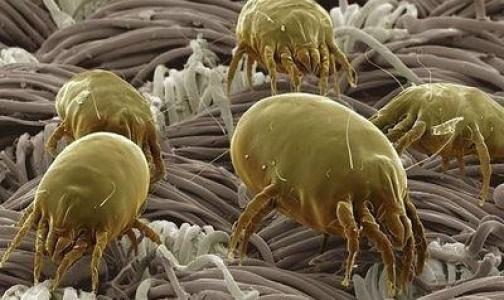 Фото №1 - От пылевого клеща защитят бифидобактерии