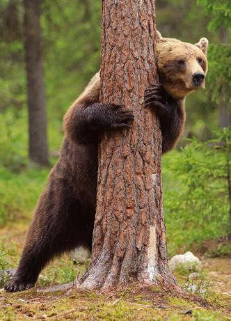 Фото №2 - Милота дня: огромный бурый медведь играет в прятки