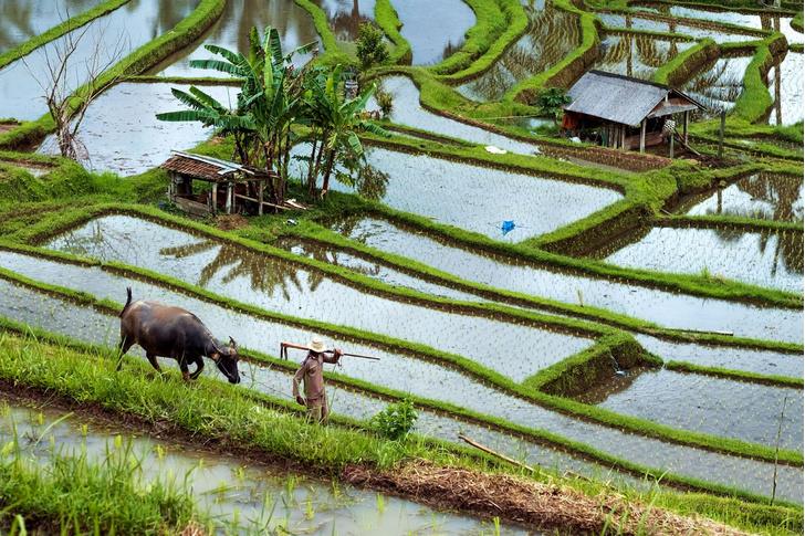 Фото №1 - Буйволы — хранители: как животные стали национальным достоянием Индонезии