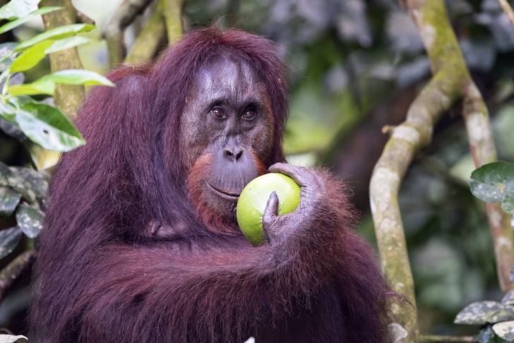 Фото №1 - Трехметровых обезьян признали предками орангутанов