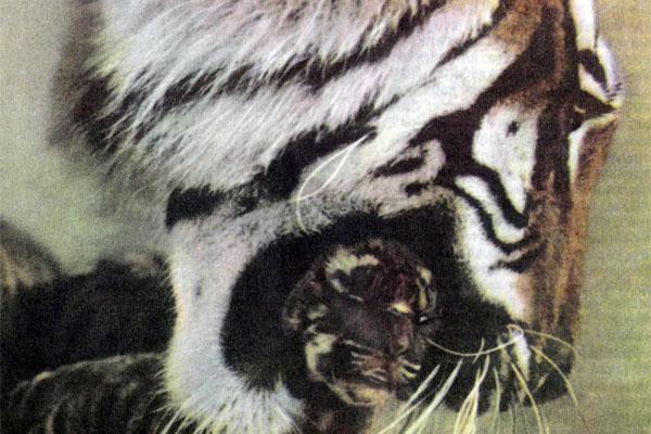 Фото №1 - Операция «Тигр»
