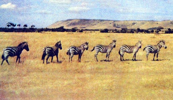 Фото №1 - Возвращение в саванну, или Обыкновенное сафари в Самбуру