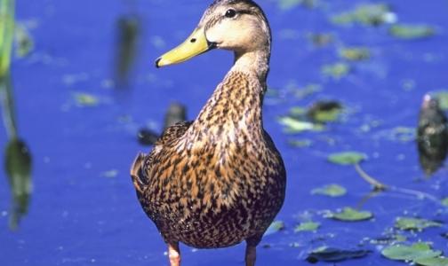 Фото №1 - Новый «птичий грипп» начал активно распространяться