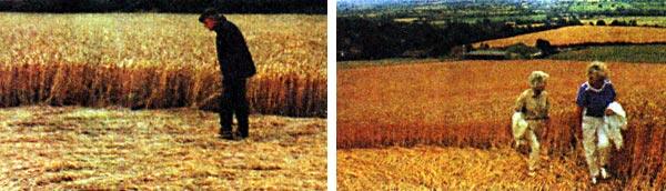 Фото №2 - Кто то в поле стал ходить и пшеницу шевелить