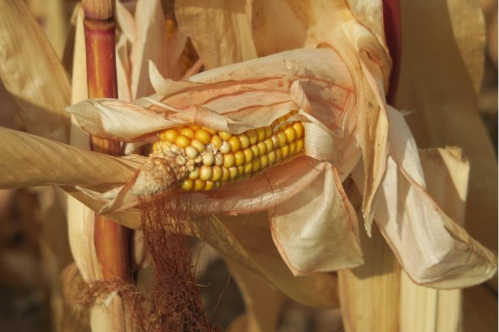 Фото №1 - Ученые рассказали, как была одомашнена кукуруза
