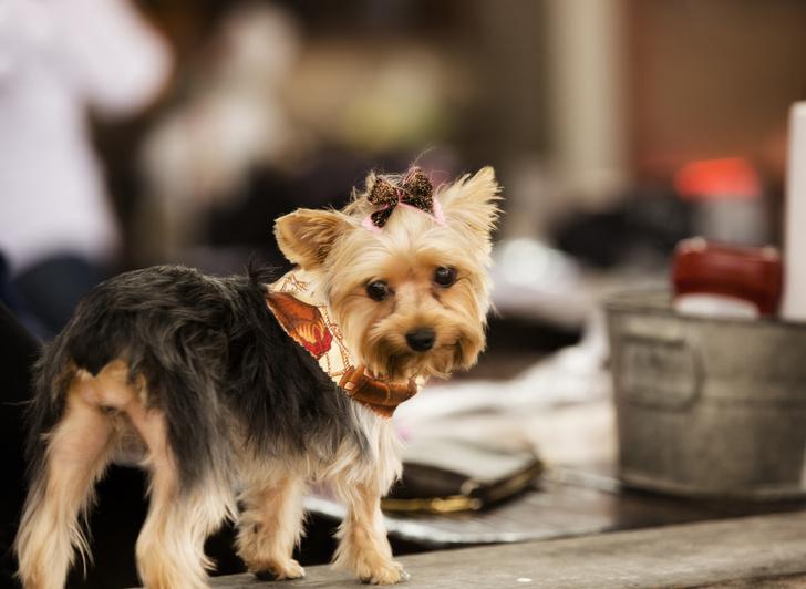 Фото №8 - 15 пород собак, которые не линяют