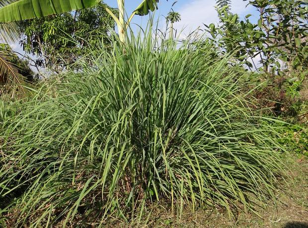 Фото №2 - 9 растений, запаха которых боятся комары