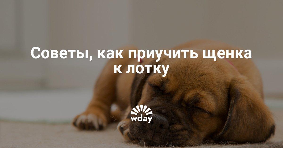 Несколько секретов о том как приучить щенка к лотку