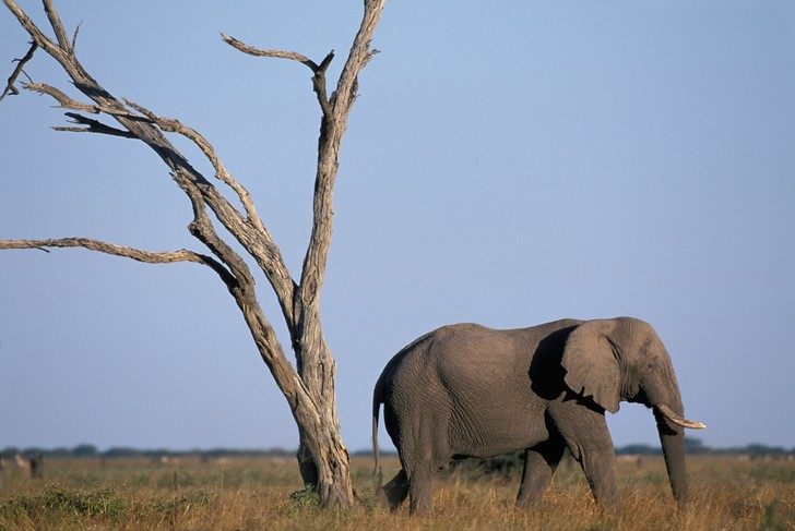 Фото №1 - Названа причина массовой гибели слонов в Ботсване