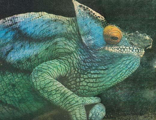 Фото №1 - Истинное лицо хамелеона