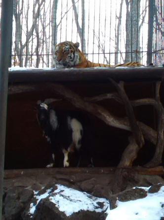 Фото №1 - В Приморье тигр подружился с козлом, присланным ему в качестве обеда