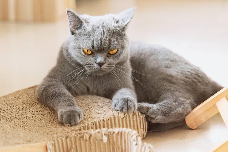 Фото №1 - Царапины кошек могут провоцировать психические расстройства