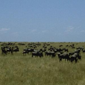 Фото №1 - Самое крупное стадо животных