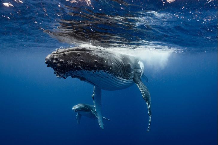 Фото №1 - Популяция горбатых китов восстановилась после почти полного исчезновения