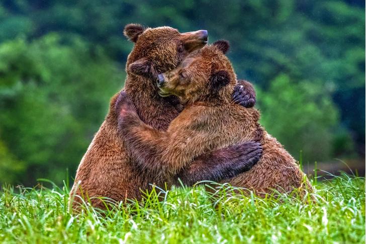 Фото №1 - Медвежьи объятия