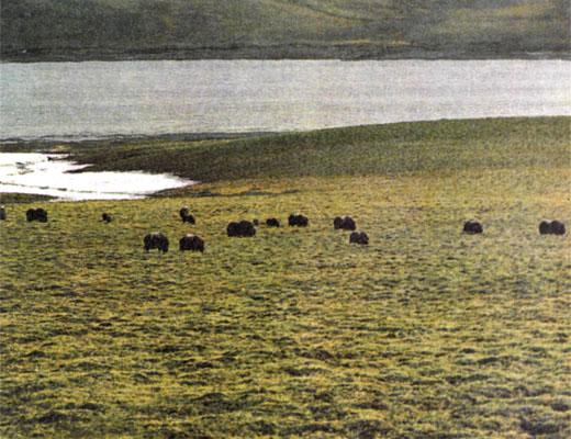 Фото №1 - Рядом с овцебыками