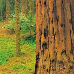 Фото №2 - Империя красного дерева