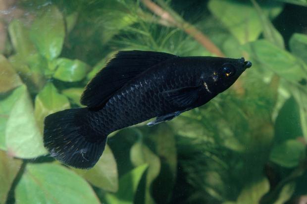 рыбка пецилия