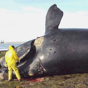 Фото №1 - У берегов Аляски выловили кита-долгожителя