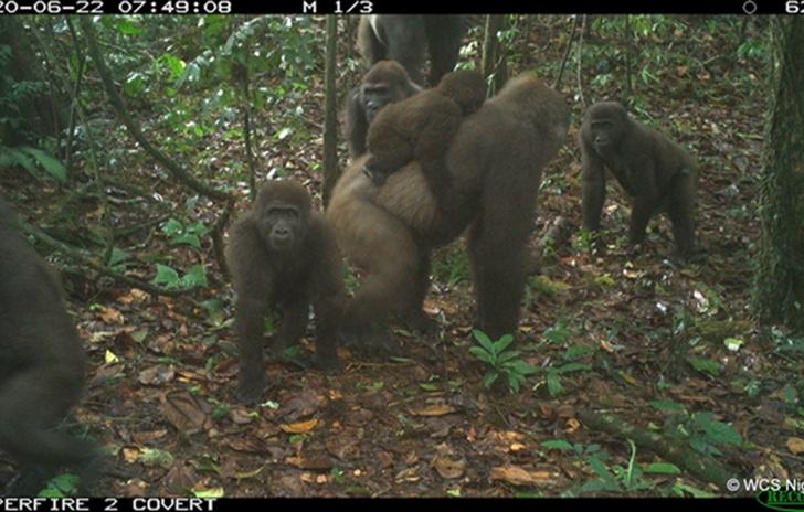 Фото №1 - Опубликованы снимки редчайших в мире горилл