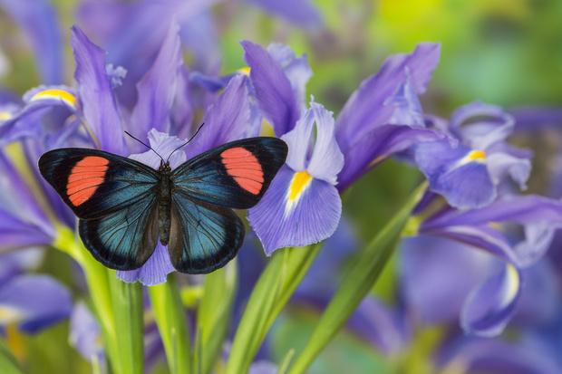 Фото №10 - 10 бабочек, крылья которых похожи на полотна импрессионистов