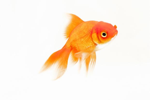 золотая рыбка аквариумная
