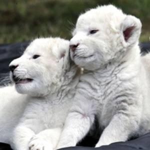 Фото №1 - Львята-альбиносы появились на публике