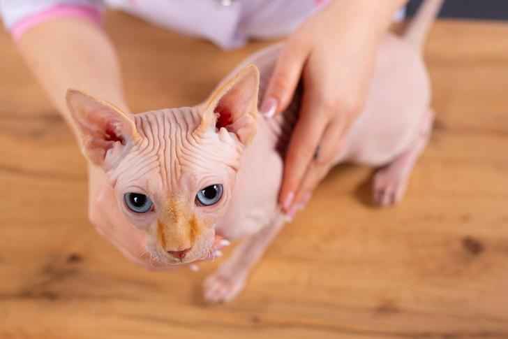 кошка без шерсти
