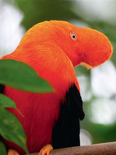 Фото №1 - Птица с плюшевым клювом