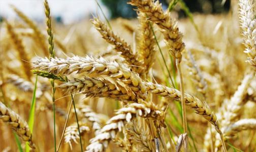 Фото №1 - Петербургские ученые создали диетический сорт пшеницы
