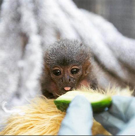обезьянка приняла плюшевого мишку за маму фото