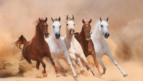 Фото №1 - Когда у чистокровных лошадей появились родословные?