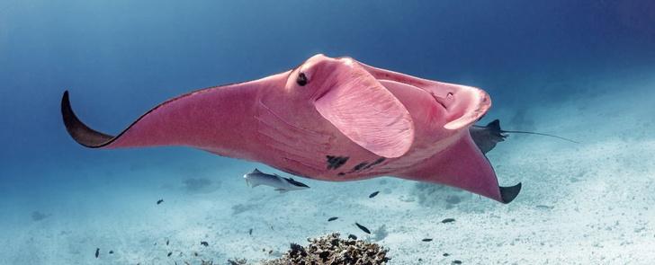 Фото №1 - Фотолюбитель запечатлел единственного в мире розового ската