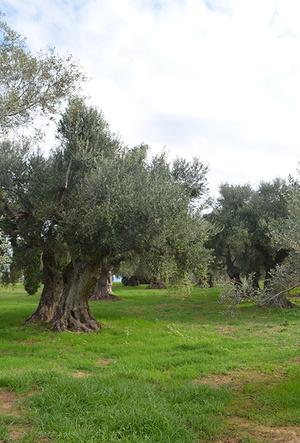 Фото №5 - Секреты выбора и хранения оливкового масла от греческих экспертов