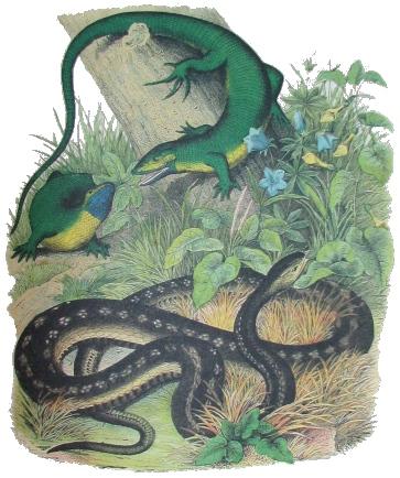 Фото №1 - Европейские змеи и ящерицы