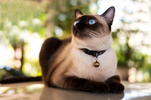 Фото №3 - Почти как люди: самые умные породы кошек
