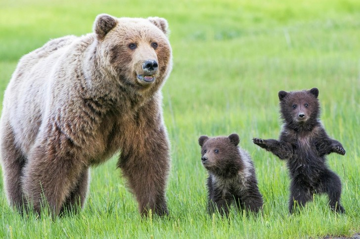 Фото №1 - Воспитание медвежат